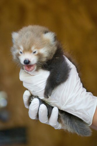 Photo: A baby red panda at the Lincoln Children's Zoo.