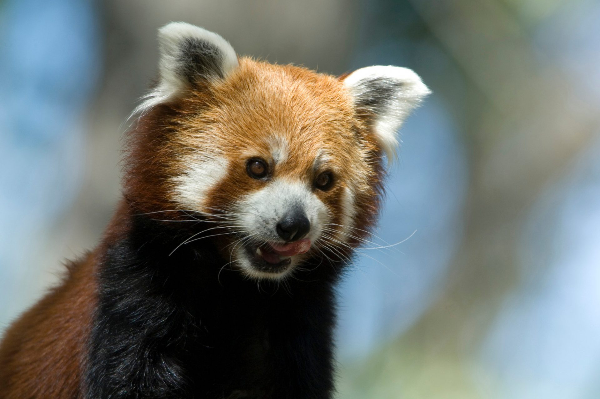 Photo: A red panda at Zoo Montana.