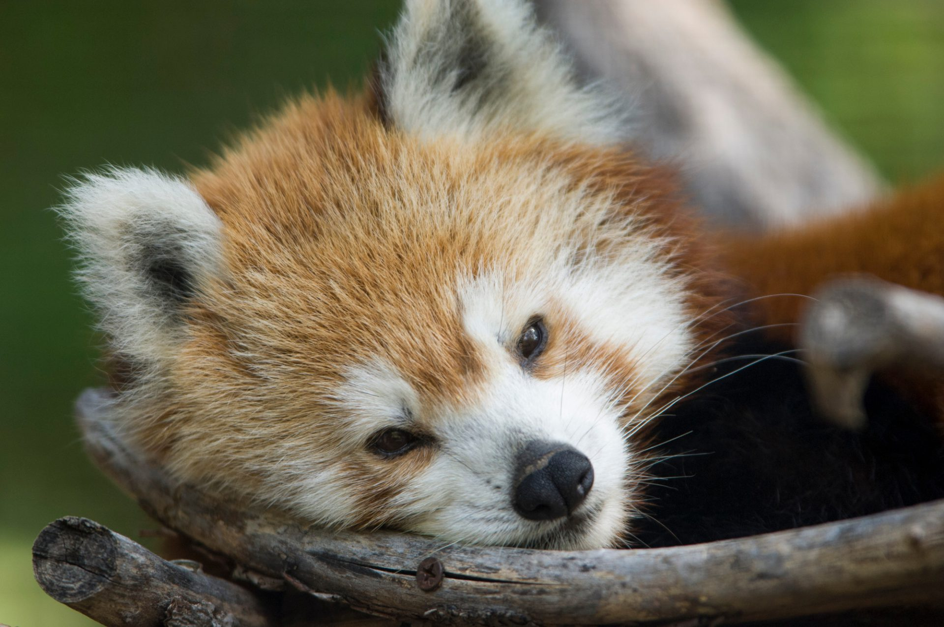 Picture of an endangered red panda (Ailurus fulgens) at the Sunset Zoo in Manhattan, KS.