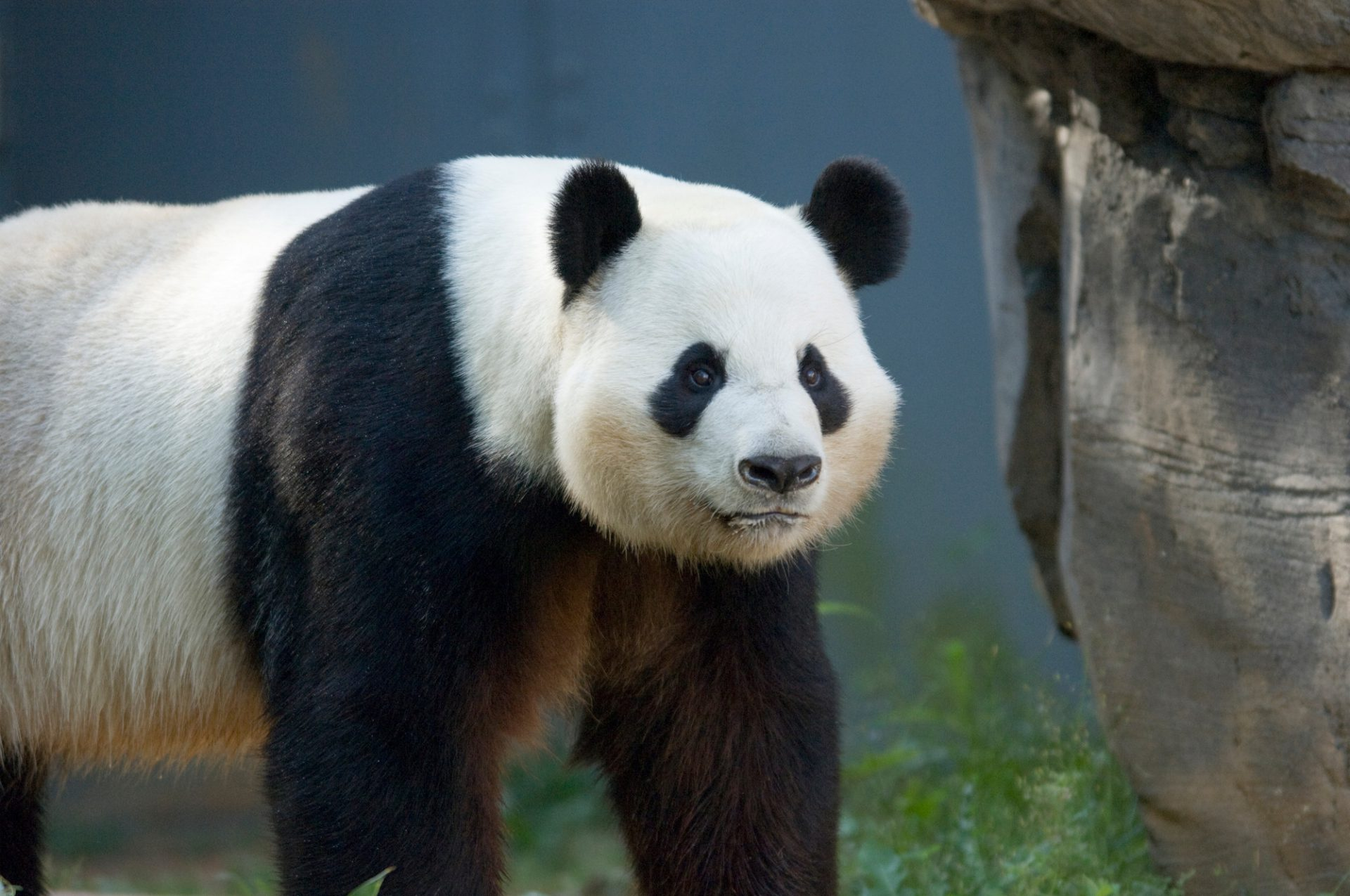 Photo: A giant panda at Zoo Atlanta.