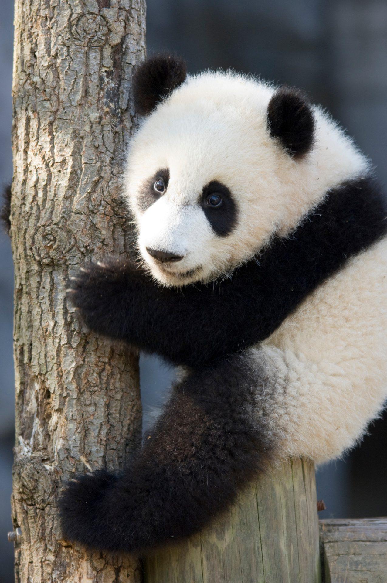 Photo: A giant panda at Zoo Atlanta.
