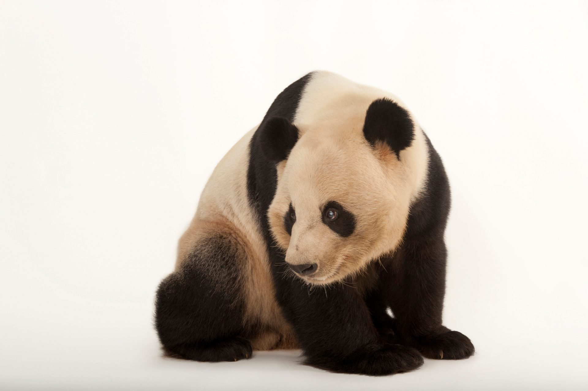 A giant panda (Ailuropoda melanoleuca) at Zoo Atlanta. This endangered (IUCN) and federally endangered species is native to China.