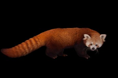Picture of an endangered red panda (Ailurus fulgens fulgens) at the Lincoln Children's Zoo.
