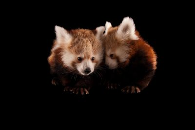 Picture of twin three month old endangered red pandas (Ailurus fulgens fulgens) at the Lincoln Children's Zoo.