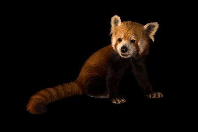 Picture of an endangered red panda (Ailurus fulgens fulgens) named Nigalya at the Chattanooga Zoo.