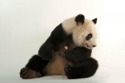 Lun Lun the endangered (IUCN) and federally endangered giant panda (Ailuropoda melanoleuca) at Zoo Atlanta.