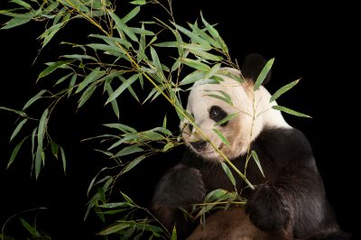 An endangered (IUCN) and federally endangered giant panda (Ailuropoda melanoleuca) at Zoo Atlanta.