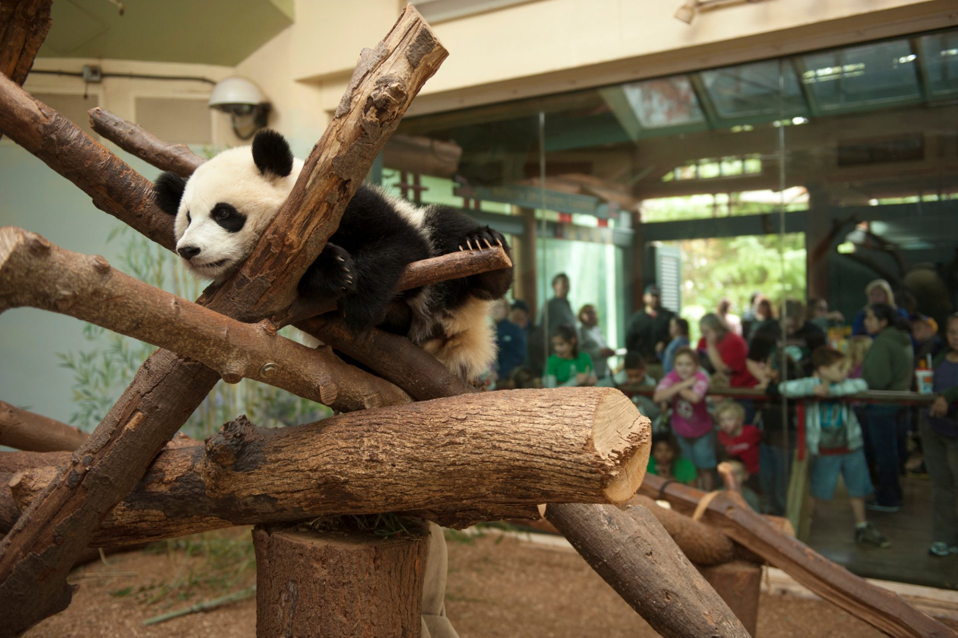 An endangered (IUCN) and federally endangered giant panda (Ailuropoda melanoleuca) at Zoo Atlanta.