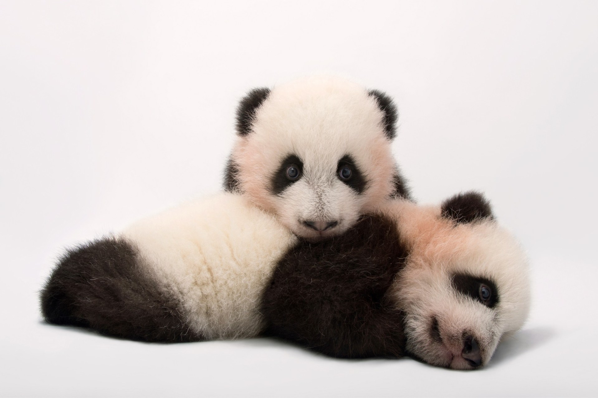 Mei Lun and Mei Huan, the twin giant panda cubs (Ailuropoda melanoleuca) at Zoo Atlanta.