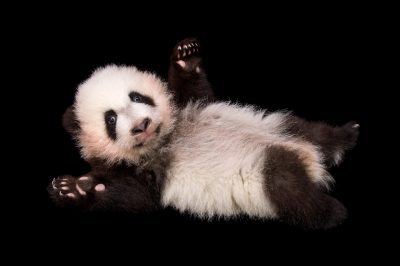 An endangered (IUCN) and federally endangered giant panda cub (Ailuropoda melanoleuca) at Zoo Atlanta.