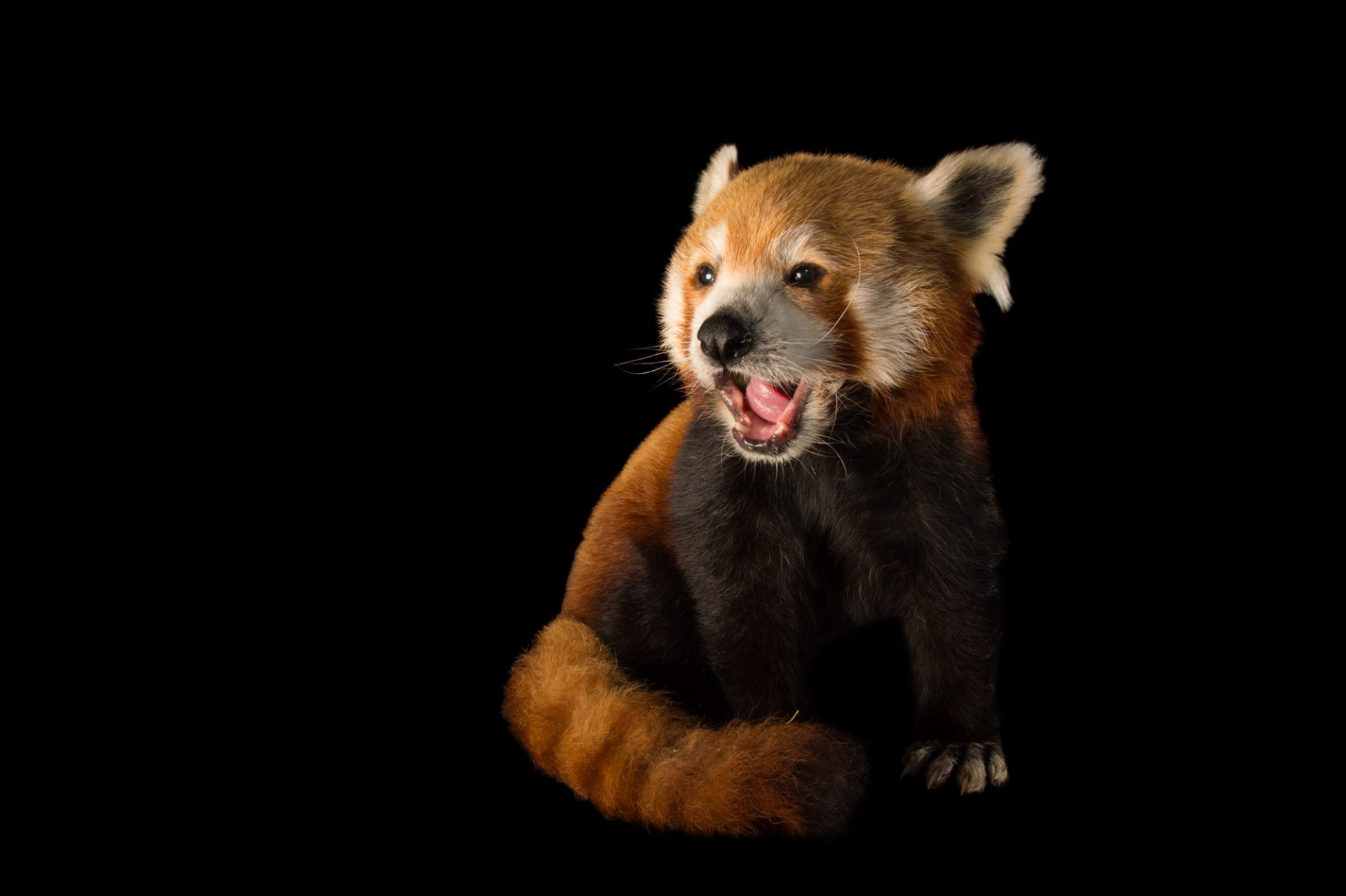 Picture of an endangered, male Western red panda (Ailurus fulgens fulgens) named Nigalya at the Chattanooga Zoo.