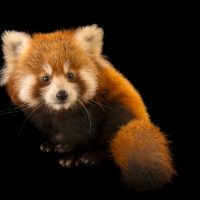 Picture of an endangered six-month-old red panda (Ailurus fulgens fulgens) named Cinnamon at the Virginia Zoo.