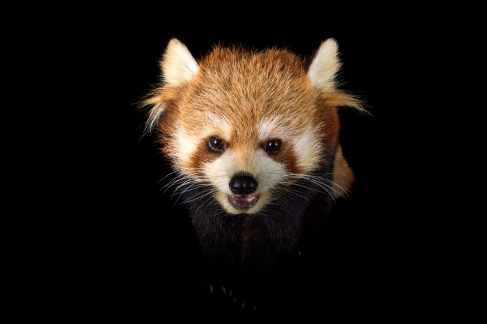 Picture of an endangered A red panda (Ailurus fulgens styani) at the Toronto Zoo.