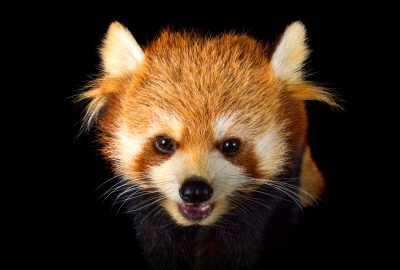 Picture of an endangered red panda (Ailurus fulgens styani) at the Toronto Zoo.