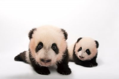 Endangered (IUCN) and federally endangered twin giant panda cubs (Ailuropoda melanoleuca) 100 days old, at Zoo Atlanta.