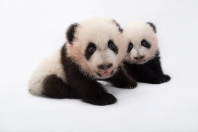 Photo: Twin giant panda cubs, 100 days old, at Zoo Atlanta.