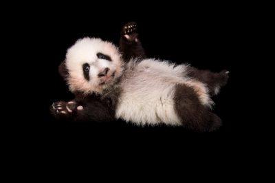 Photo: A giant panda cub, 100 days old, at Zoo Atlanta.