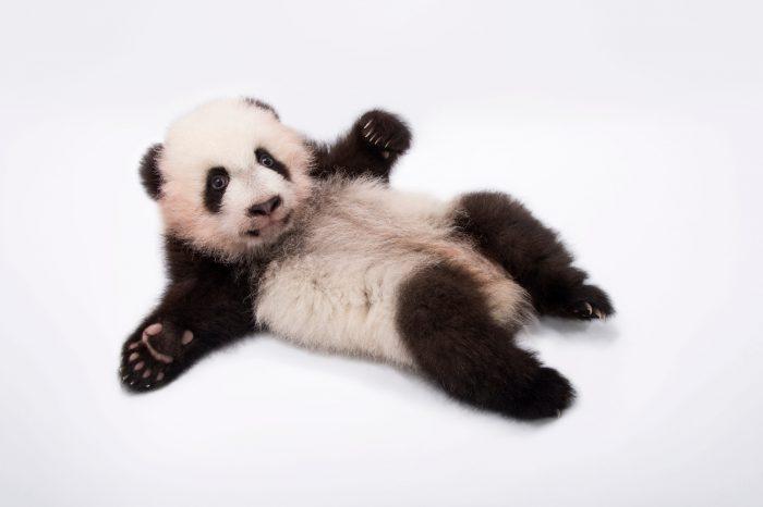 Photo: Twin giant panda cubs, 100 days old, at Zoo Atlanta.