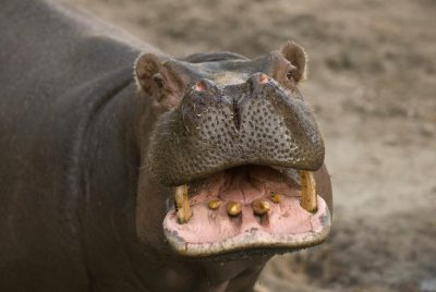 Photo: A hippopotamus at the Sedgwick County Zoo.