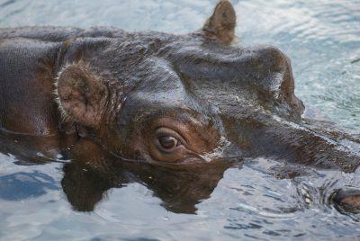 Photo: A hippopotamus at the Sedgwick County Zoo.