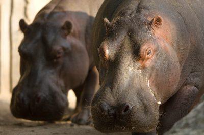 Photo: Hippopotamus at the Sedgwick County Zoo.