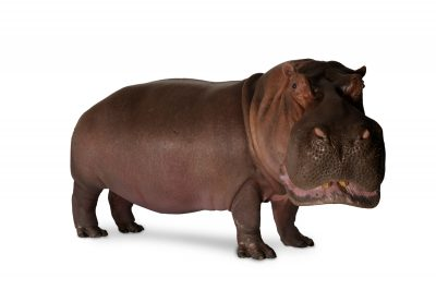 A hippopotamus (Hippopotamus amphibius) at the San Antonio Zoo. (IUCN: Vulnerable)