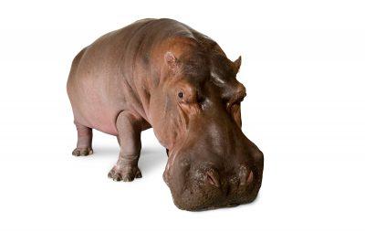 A hippopotamus (Hippopotamus amphibius) at the San Antonio Zoo. (IUCN: Vulnerable)