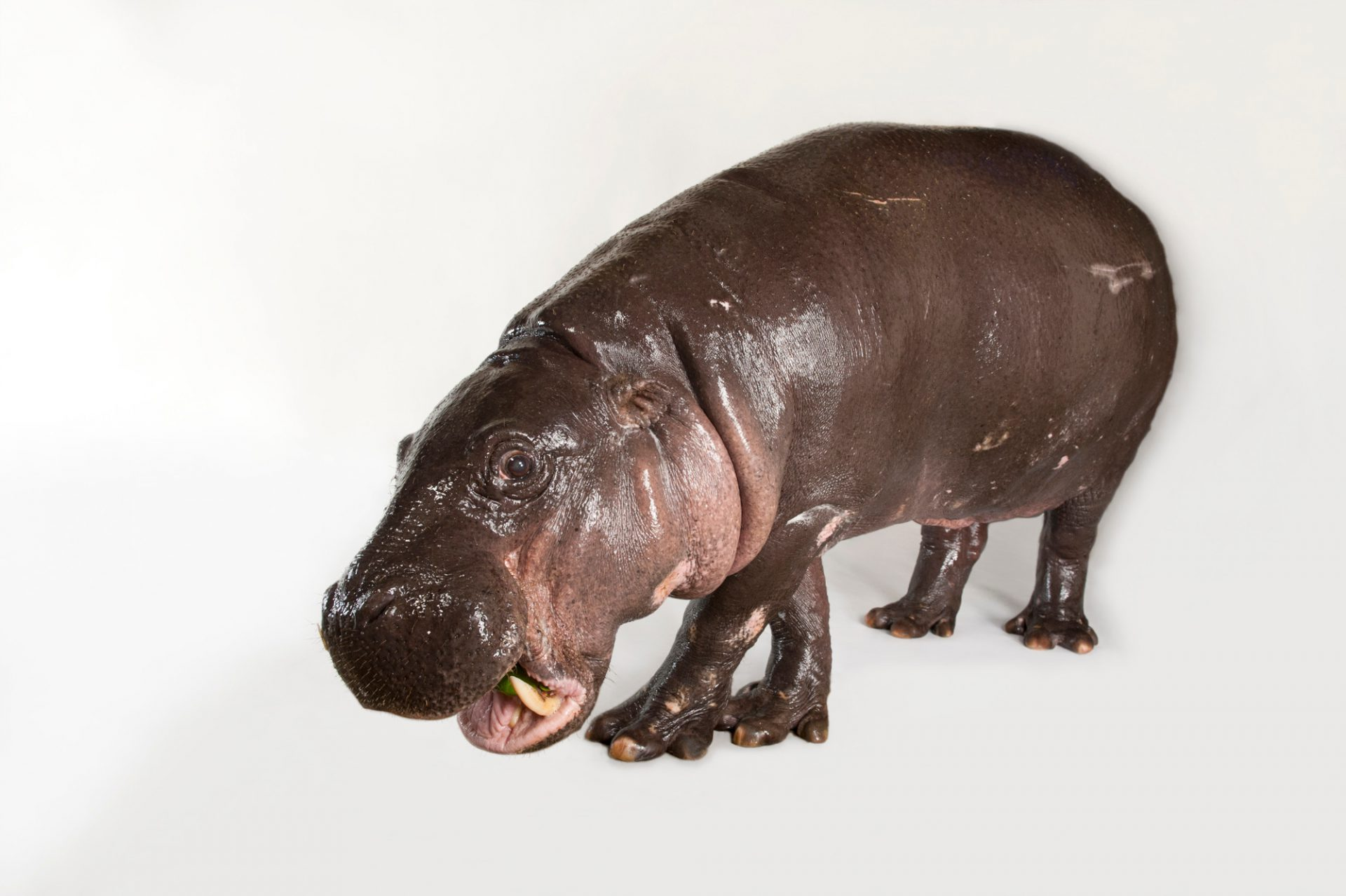 Picture of a pygmy hippopotamus (Choeropsis liberiensis) named Betty at the Omaha Zoo. Listed as endangered (IUCN)