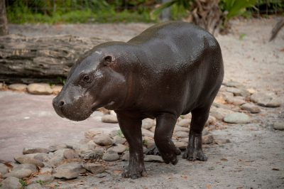 Picture of a pygmy hippo (Choeropsis liberiensis) at Tampa's Lowry Park Zoo. Listed as endangered (IUCN)