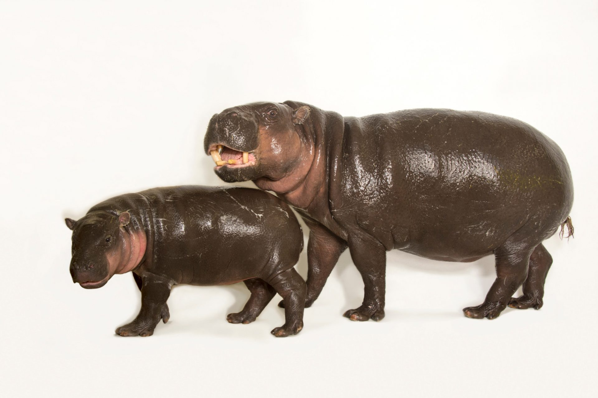 Picture of Ralph, an endangered 6 month old baby Pygmy hippopotamus and his mother, Chomel (Choeropsis liberiensis) at Omaha Henry Doorly Zoo.