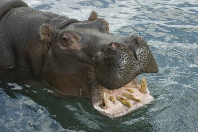 Photo: A hippopotamus bares its teeth at the Sedgwick County Zoo.