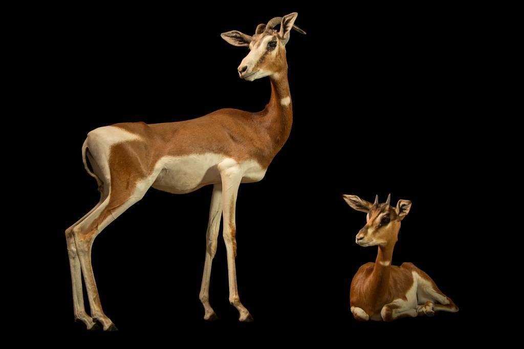 Photo: Two critically endangered Mhorr's gazelles (Gazella dama mhorr) at the Budapest Zoo.