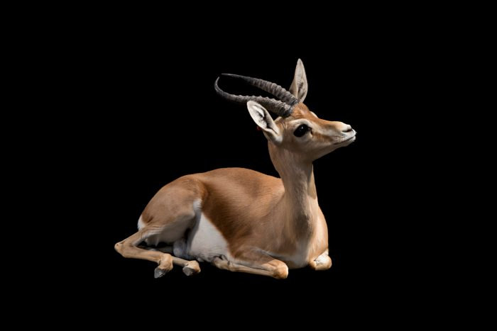 Photo: A vulnerable Dorcas gazelle (Gazella dorca) at the Madrid Zoo.