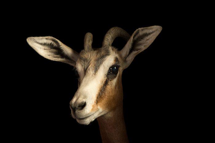 Photo: Mhorr's gazelle (Nanger dama mhorr) at the Budapest Zoo.