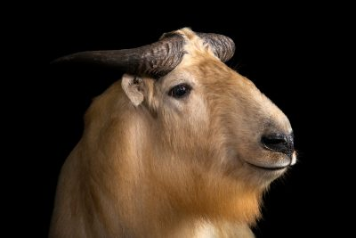 Photo: Golden takin (Budorcas bedfordi) at Wroclaw Zoo. This species is listed as vulnerable by IUCN.