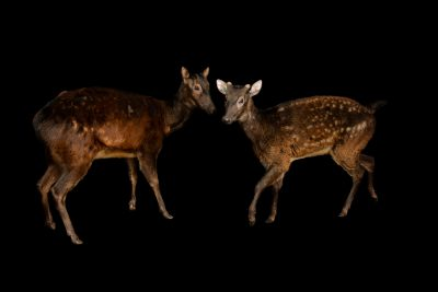 Photo: Endangered Visayan spotted deer (Rusa alfredi) at Wroclaw Zoo.