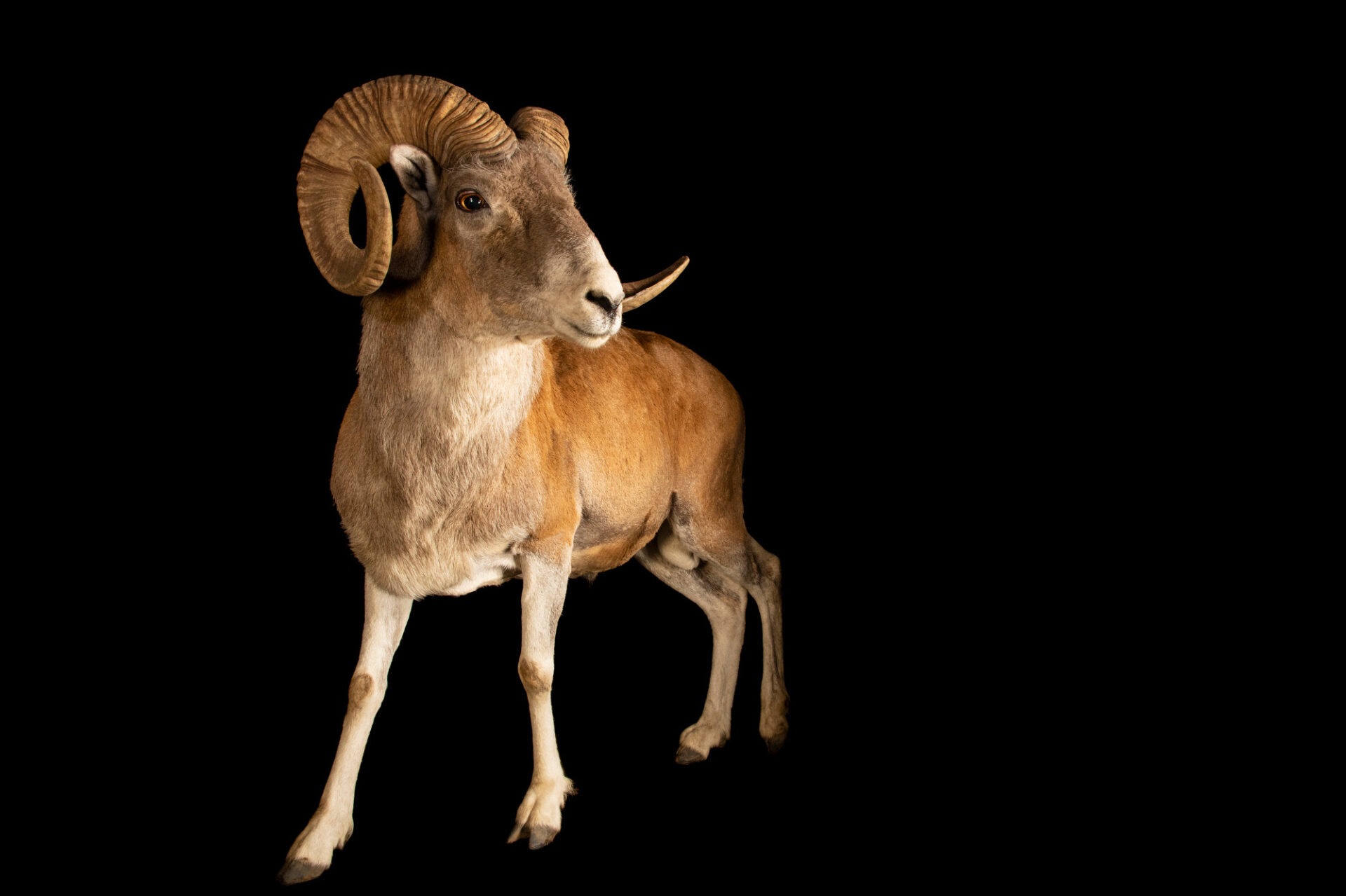 Photo: A male Marco Polo sheep (Ovis ammon polii) at Tierpark Berlin.