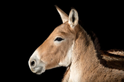 Photo: An endangered Kulan (Equus hemionus kulan) at Plzen Zoo in the Czech Republic.