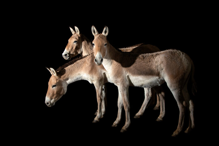 Photo: An endangered Kulan (Equus hemionus kulan) at Plzen Zoo in the Czech Republic.