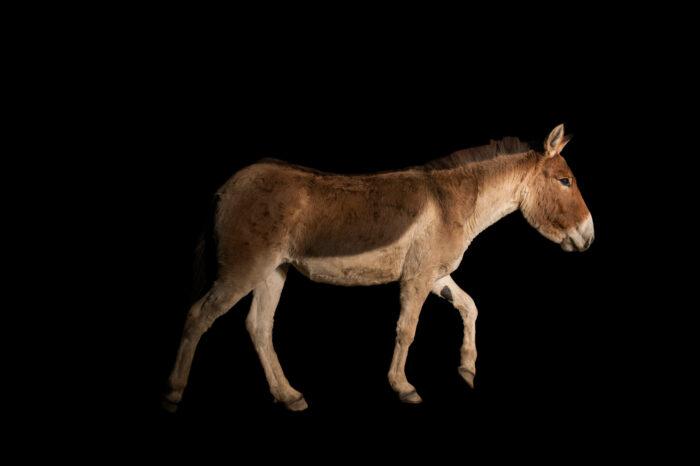 Photo: A kiang (Equus kiang holdereri) at Prague Zoo.