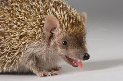 Picture of a tenrec (Echinops telfairi) munches on a worm at the Lincoln Children's Zoo, Lincoln, Nebraska.