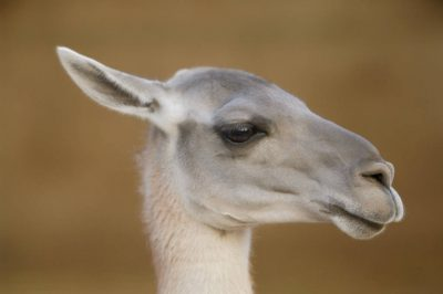 Picture of a guanaco (Lama guanicoe) at the Sedgwick County Zoo, Wichita, Kansas.