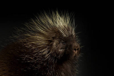 A North American porcupine (Erethizon dorsatum) at the Denver Zoo, Denver, Colorado.