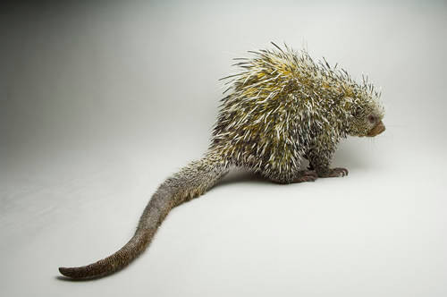 A Brazilian porcupine (Coendou prehensilis) at the Denver Zoo, Denver, Colorado.