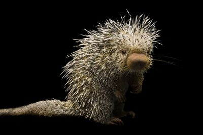 A Brazilian porcupine (Coendou prehensilis) at the Denver Zoo, Denver, Colorado.
