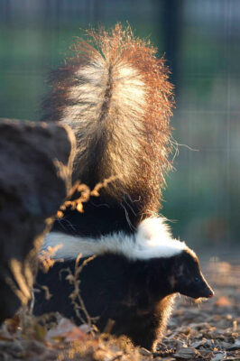 A skunk (Mephitis mephitis) gets ready to spray at the Rolling Hills Wildlife Adventure, Salina, Kansas.