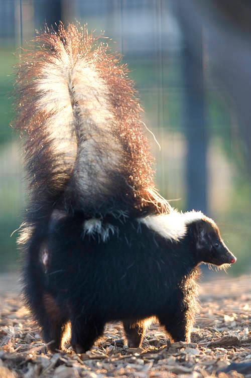 A skunk (Mephitis mephitis) gets ready to spray at the Rolling Hills Wildlife Adventure, Salina, Kansas.