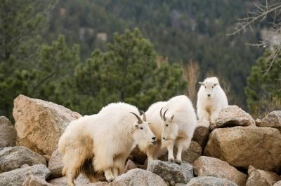 Picture of a group of mountain goats (Oreamnos americanus) at the Cheyenne Mountain Zoo, Colorado Springs, Colorado.