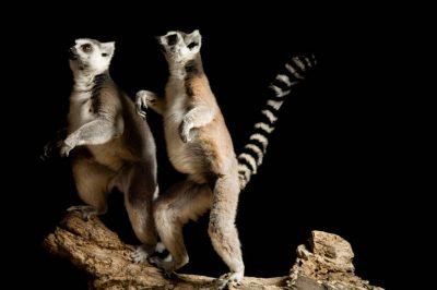 Ring-tailed lemurs (Lemur catta) at the Rolling Hills Wildlife Adventure, Salina, Kansas.