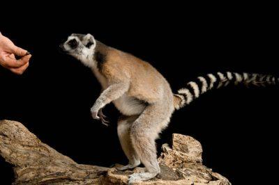 Ring-tailed lemurs (Lemur catta) at the Rolling Hills Wildlife Adventure.